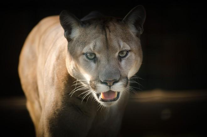 Vua hủy diệt: Cận cảnh loài động vật có cú cắn mạnh nhất hành tinh - Ảnh 1.