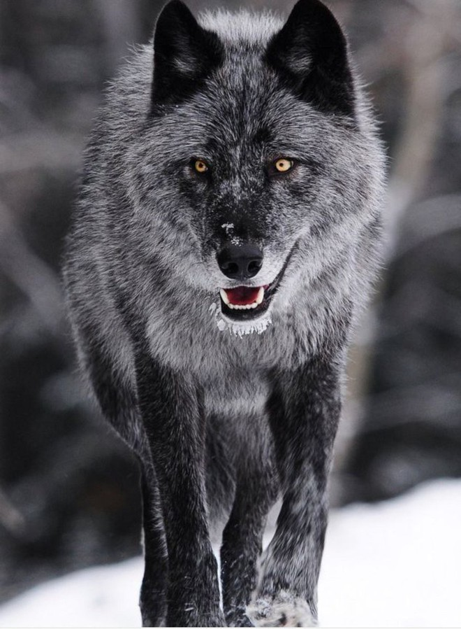 Vua hủy diệt: Cận cảnh loài động vật có cú cắn mạnh nhất hành tinh - Ảnh 2.