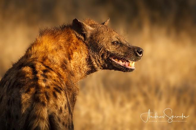 Vua hủy diệt: Cận cảnh loài động vật có cú cắn mạnh nhất hành tinh - Ảnh 13.