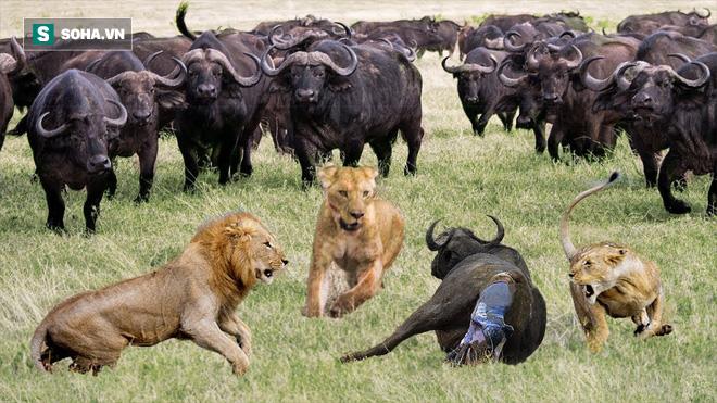 Năm lần bảy lượt bị sư tử giày vò, trâu non vẫn sống sót một cách kỳ diệu - Ảnh 2.
