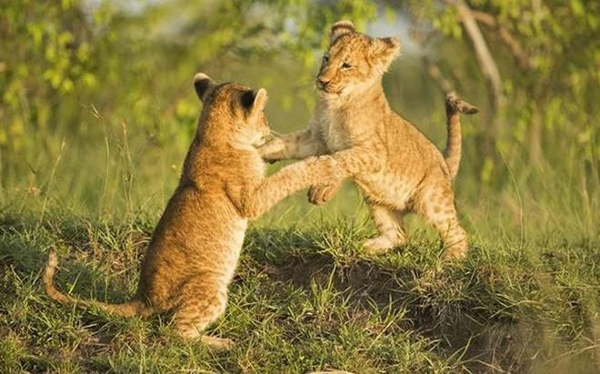 Bất ngờ với bộ ảnh kịch chiến của anh em sư tử con