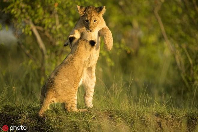 Bất ngờ với bộ ảnh kịch chiến của anh em sư tử con - Ảnh 1.