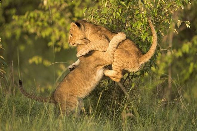 Bất ngờ với bộ ảnh kịch chiến của anh em sư tử con - Ảnh 2.