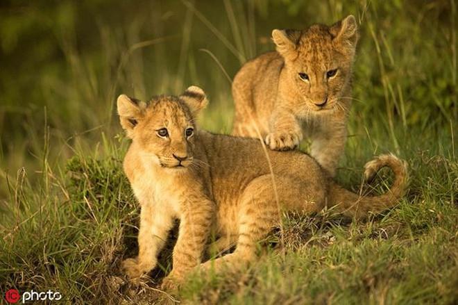 Bất ngờ với bộ ảnh kịch chiến của anh em sư tử con - Ảnh 4.