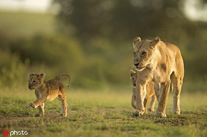 Bất ngờ với bộ ảnh kịch chiến của anh em sư tử con - Ảnh 5.