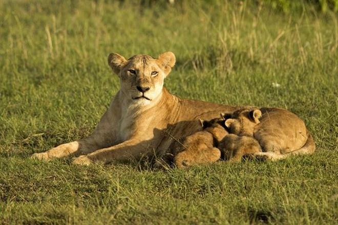 Bất ngờ với bộ ảnh kịch chiến của anh em sư tử con - Ảnh 6.