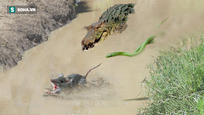 Cá sấu và rắn lục cực độc săn cùng 1 con mồi, kẻ nào sẽ nhanh hơn? - Ảnh 1.