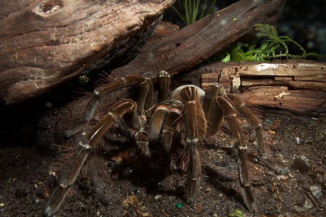 Sự thật về loài nhện ăn chim Goliath: Kẻ săn mồi khét tiếng nhưng ẩn chứa đầy nghịch lý - Ảnh 1.