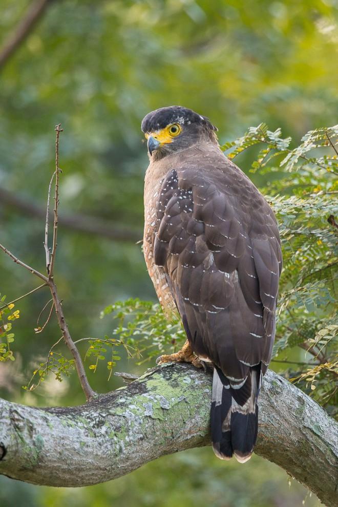 Diều hoa Miến Điện: Loài chim quý thuộc Sách Đỏ IUCN mang vẻ đẹp dũng mãnh hiếm có - Ảnh 5.
