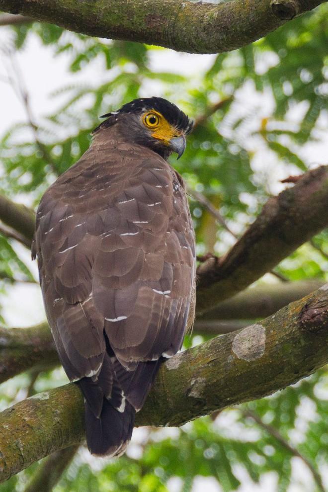 Diều hoa Miến Điện: Loài chim quý thuộc Sách Đỏ IUCN mang vẻ đẹp dũng mãnh hiếm có - Ảnh 4.