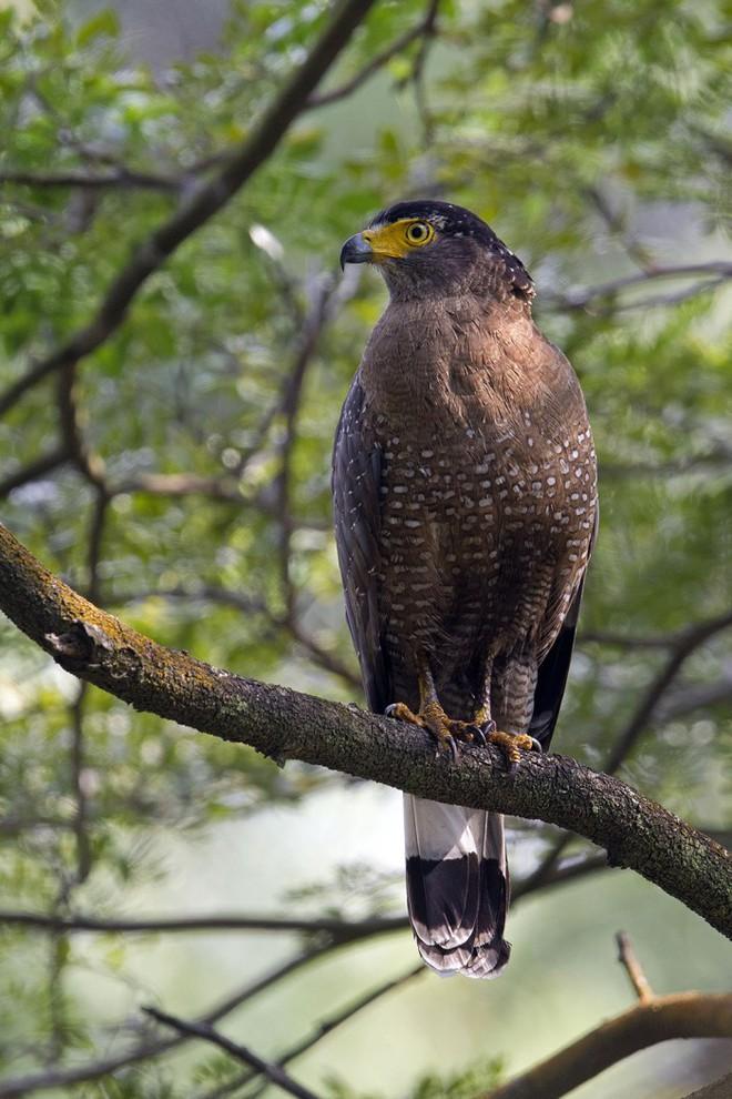 Diều hoa Miến Điện: Loài chim quý thuộc Sách Đỏ IUCN mang vẻ đẹp dũng mãnh hiếm có - Ảnh 3.