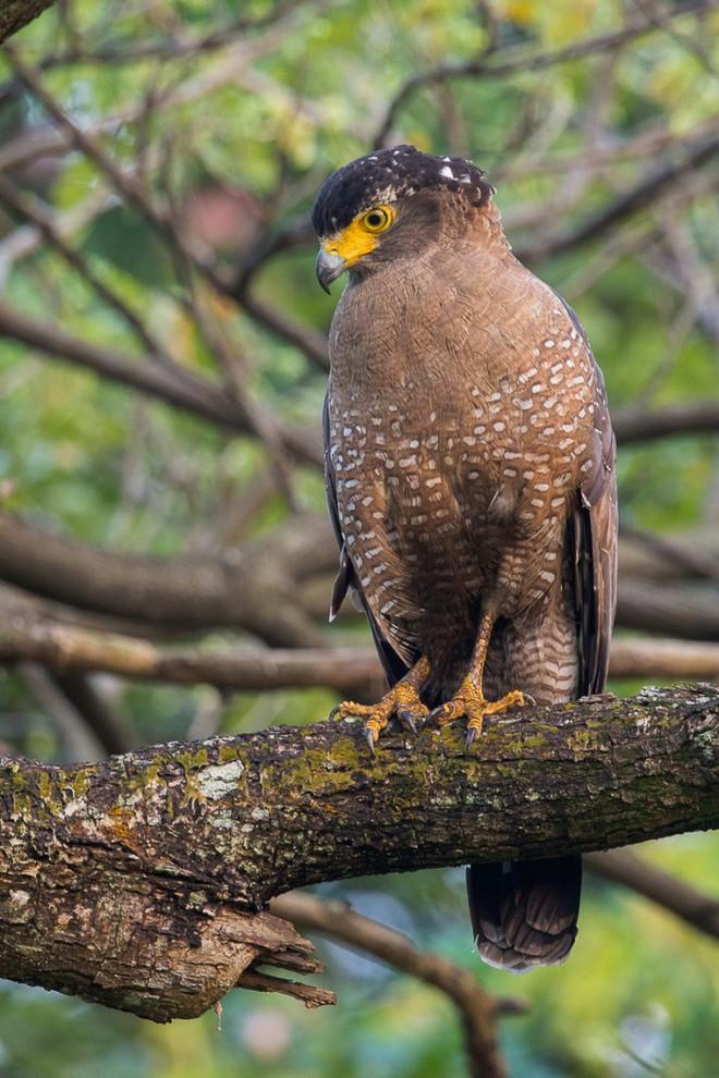 Diều hoa Miến Điện: Loài chim quý thuộc Sách Đỏ IUCN mang vẻ đẹp dũng mãnh hiếm có - Ảnh 2.
