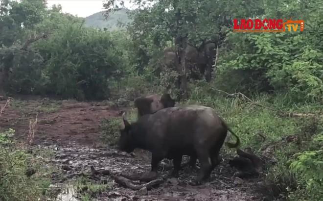 Thế giới động vật: Voi con liều lĩnh đe dọa trâu rừng