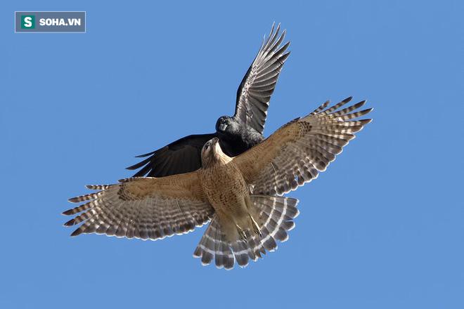 Bị bầy quạ quấy phá để giải cứu đồng loại, diều hâu lão luyện có hành động đầy ma mãnh - Ảnh 1.