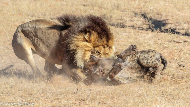 Bị sư tử tấn công lúc trọng thương, linh cẩu lê thân tàn chạy trốn cũng không nổi - Ảnh 2.