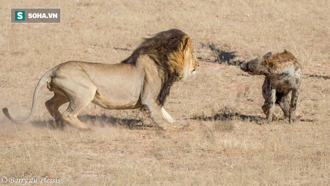 Bị sư tử tấn công lúc trọng thương, linh cẩu lê thân tàn chạy trốn cũng không nổi - Ảnh 1.