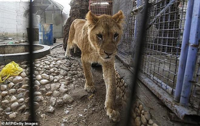 Ám ảnh vườn thú địa ngục, nơi động vật khổ sở chết mòn ở Gaza - Ảnh 1.
