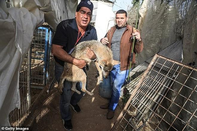 Ám ảnh vườn thú địa ngục, nơi động vật khổ sở chết mòn ở Gaza - Ảnh 2.