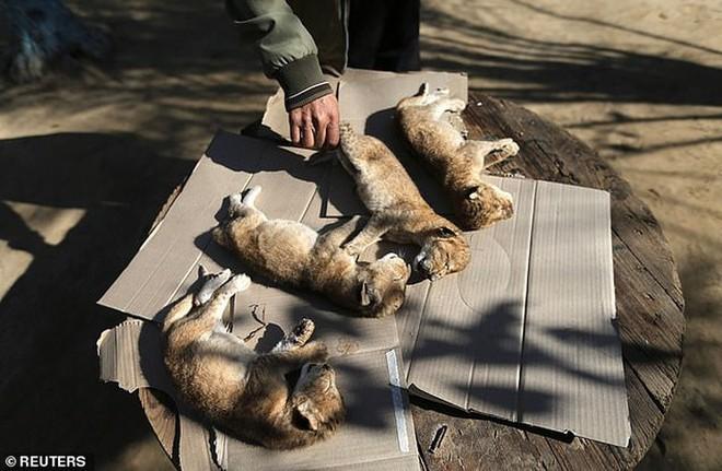 Ám ảnh vườn thú địa ngục, nơi động vật khổ sở chết mòn ở Gaza - Ảnh 12.
