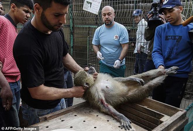 Ám ảnh vườn thú địa ngục, nơi động vật khổ sở chết mòn ở Gaza - Ảnh 4.