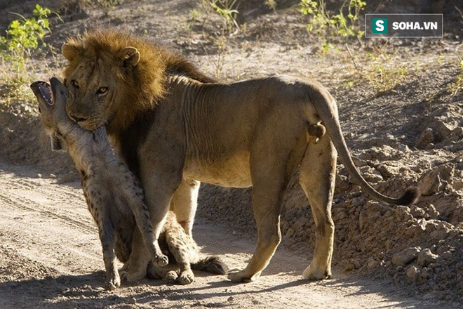 Nhìn thấy sư tử hì hụi đào đất, linh cẩu đau đớn đến thất thần, tại sao lại thế? - Ảnh 1.