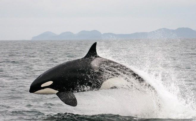 Thế giới động vật: Màn săn đuổi nghẹt thở của cá voi sát thủ