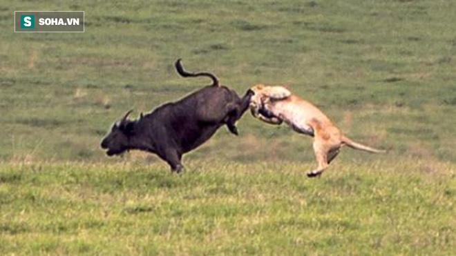 Định khiến trâu rừng bất ngờ từ phía sau, sư tử đau điếng người vì cú đá trời giáng - Ảnh 1.