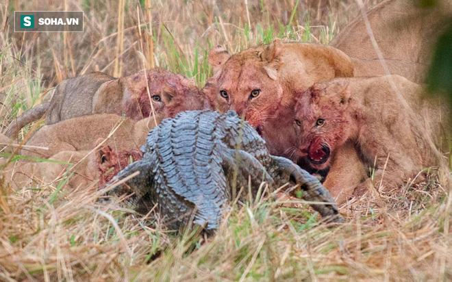 Cá sấu cố gắng trộm thức ăn của sư tử; báo và linh cẩu cũng to gan không kém - Ảnh 1.