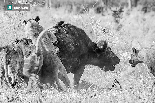 Bị cả đàn bỏ rơi, trâu rừng cầm chắc cái chết trước 4 con sư tử: Kẻ lạ mặt đảo lộn mọi thứ - Ảnh 1.