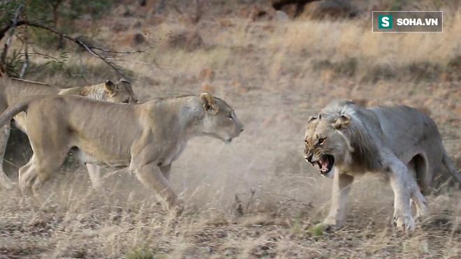 Hớn hở đến chung vui bữa tiệc thịt ngựa vằn, sư tử đực trẻ nhận một gáo nước lạnh - Ảnh 1.
