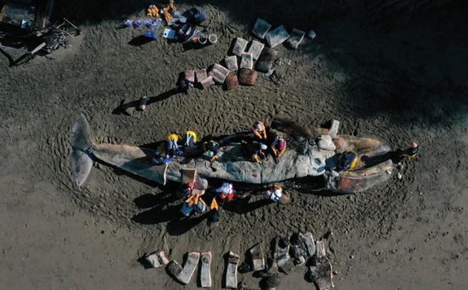 Bí ẩn đằng sau cái chết của hàng chục con cá voi xám với bụng trống rỗng