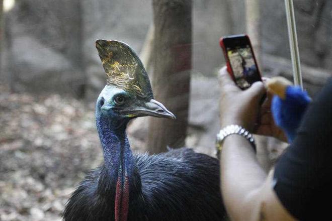 Con chim nguy hiểm nhất thế giới vừa đạp chết chủ cũ đang được bán đấu giá để tìm chủ mới - Ảnh 4.