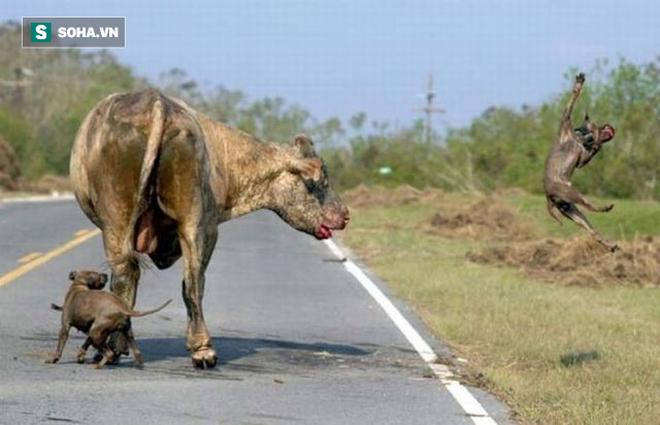 Chó nhà dũng cảm lao vào bò điên để bảo vệ chủ: Kết cục ra sao? - Ảnh 1.