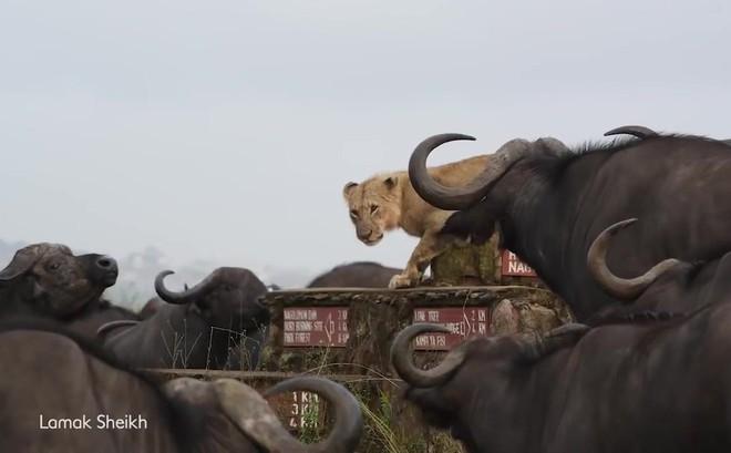 Video: Sư tử co ro sợ hãi vì bị cả đàn trâu rừng bao vây