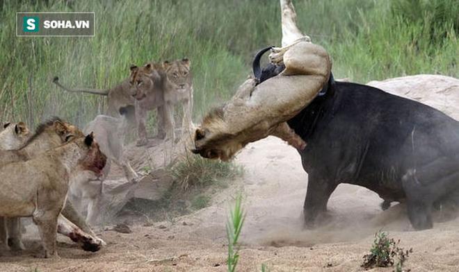 Bị cả đàn sư tử đói truy sát, trâu rừng dùng tuyệt kỹ cực độc: Kết cục ra sao? - Ảnh 1.