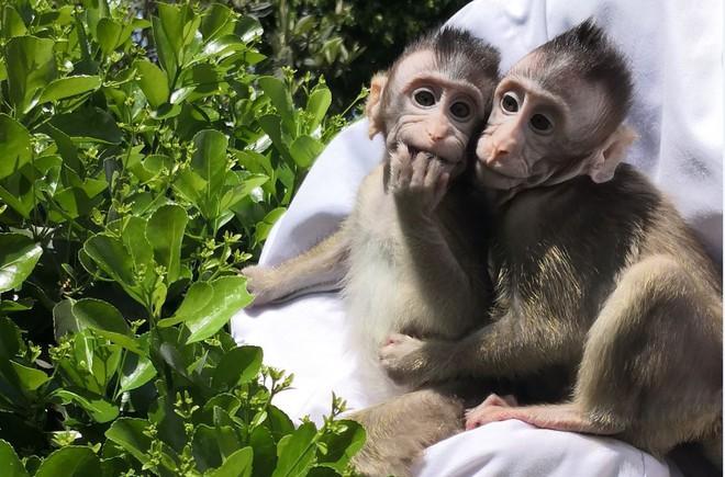 Khoa học tạo ra những con khỉ với não bộ phát triển như người: Kịch bản Hành tinh khỉ sắp xảy ra? - Ảnh 2.
