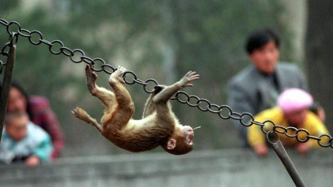 Khoa học tạo ra những con khỉ với não bộ phát triển như người: Kịch bản Hành tinh khỉ sắp xảy ra? - Ảnh 3.