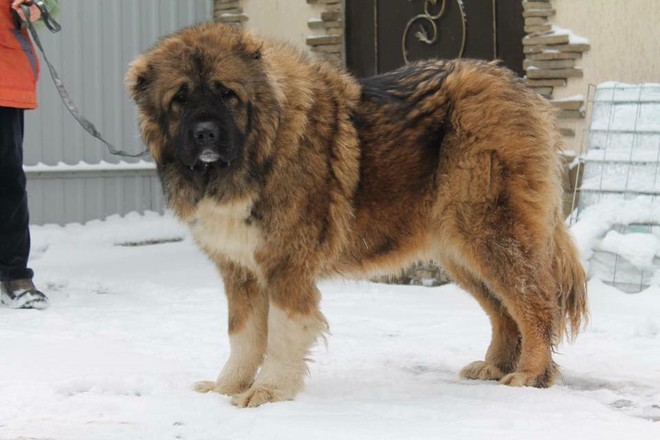 10 loài chó hung hãn và nguy hiểm nhất thế giới - Ảnh 3.
