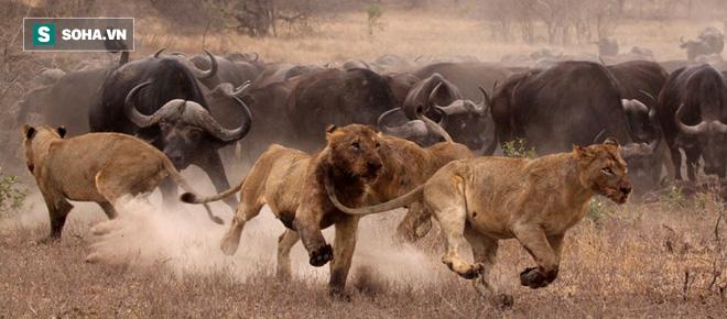Bị sư tử quật ngửa, trâu rừng được cả bầy kéo đến khích lệ: Kết cục bất ngờ - Ảnh 1.