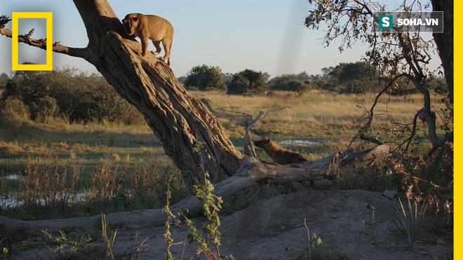 Khúc biệt ly của sư tử: Con cái bụng mang dạ chửa leo lên cây nhìn con đực bị truy sát - Ảnh 1.