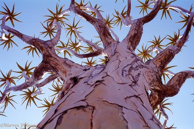 Loài cây như gốc rễ lộn ngược này hóa ra còn quý hơn cả kim cương đối với người Namibia - Ảnh 6.