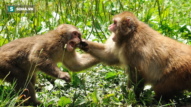 Dám vô lễ phạm thượng, khỉ rừng bị cả đàn xúm lại cắn xé gần chết - Ảnh 1.