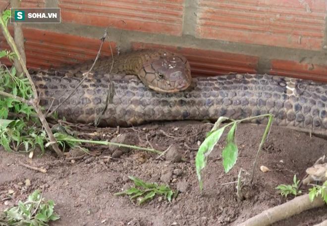 Thông tin mới về số phận của cặp rắn khủng nặng 60 kg, dài hơn 6m vừa bắt được dưới chân núi Cấm - Ảnh 4.