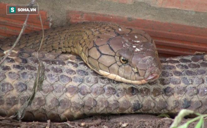 Thông tin mới về số phận của cặp rắn khủng nặng 60 kg, dài hơn 6m vừa bắt được dưới chân núi Cấm - Ảnh 5.