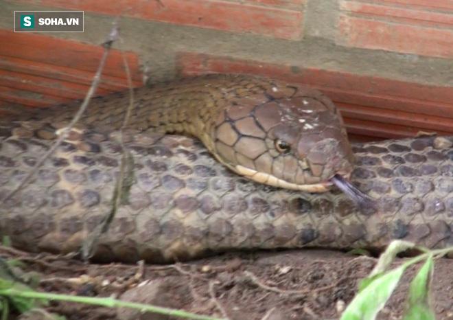 Thông tin mới về số phận của cặp rắn khủng nặng 60 kg, dài hơn 6m vừa bắt được dưới chân núi Cấm - Ảnh 6.