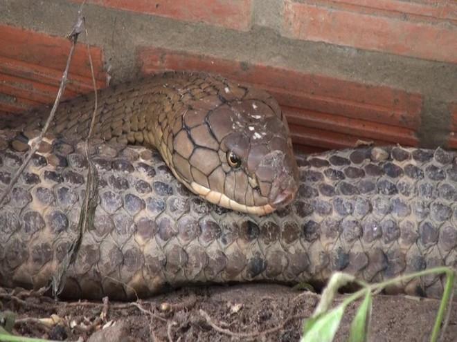 Cận cảnh cặp rắn khủng nặng 60kg, đầu to bằng nửa cục gạch vừa bắt được ở chân núi Cấm - Ảnh 5.