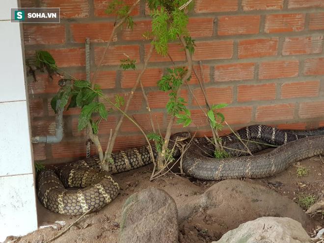Cận cảnh cặp rắn hổ mây khủng vừa bắt được dưới chân núi Cấm được nuôi nhốt: Một con có dấu hiệu lột xác - Ảnh 1.