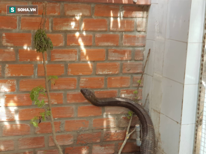 Cận cảnh cặp rắn hổ mây khủng vừa bắt được dưới chân núi Cấm được nuôi nhốt: Một con có dấu hiệu lột xác - Ảnh 10.