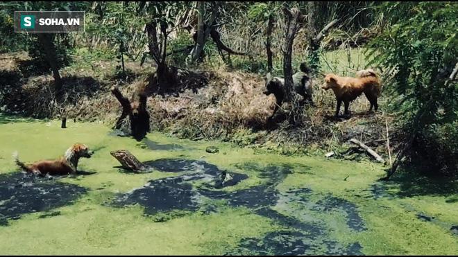 Kỳ đà bị bầy chó đánh hội đồng và màn tẩu thoát không tưởng - Ảnh 1.