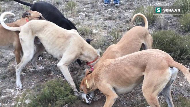 Chó sói đụng độ bậc thầy của việc săn bắt và thảm cảnh tứ mã phanh thây - Ảnh 1.